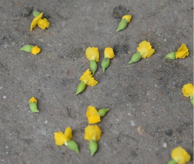 パダウ(PADAUK)の花5