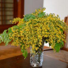 パダウ(PADAUK)の花