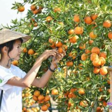 ピンウールィンのオレンジ農場
